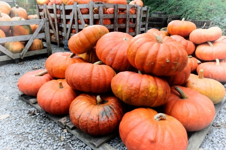 Pile of fresh pumpkins for sale photo