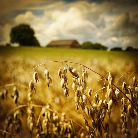農業の背景にゴールデン エンバク耳のマクロ