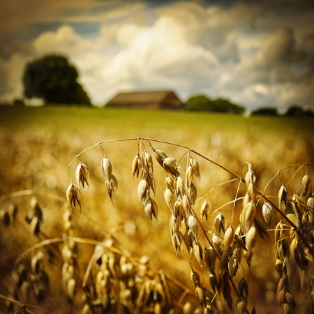 Macro of golden oat ears on agricultural background photo