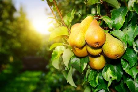 Verse peren op boomtak op zonnige dag