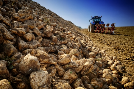 Landbouwvoertuig oogsten van suikerbieten op gecultiveerd gebied Stockfoto
