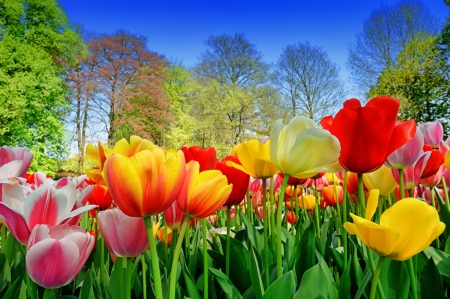 Fresh multicolored tulips in a spring park Stock Photo