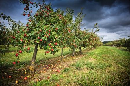 Appelboomgaard bij bewolkte herfstdag