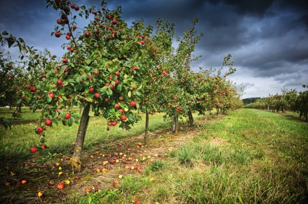 Apple orchard at cloudy autumn day photo