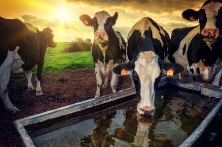 vaca: Manada de los terneros j�venes bebiendo agua al atardecer