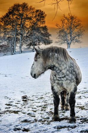 dapple horse: Dapple grey horse at snowy winter sunset