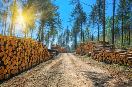 lumbering: Log stacks along the forest road at sunny day