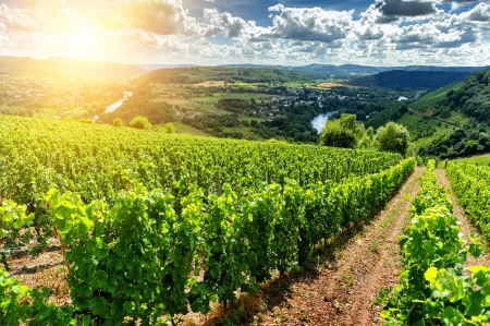 Beautiful summer landscape with vineyard at sunny day photo