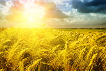 yield: Golden sunset over wheat field at summer time