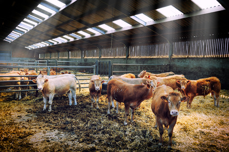 Herd of young cows in cowshed