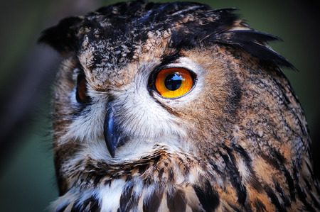 Closeup of wild owl in nature photo