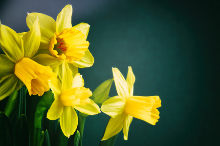 Spring flowers. Yellow daffodils on dark green background