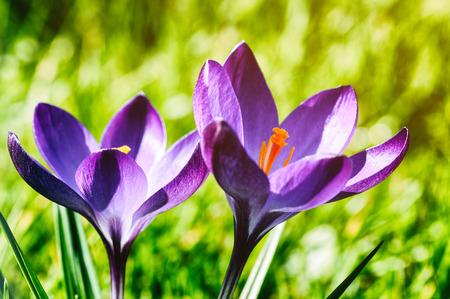 Purple crocus in spring garden