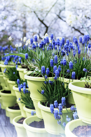 Blooming bluebells in flower pots photo
