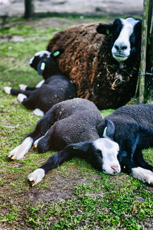 Mother sheep resting with her lambs on the ground photo