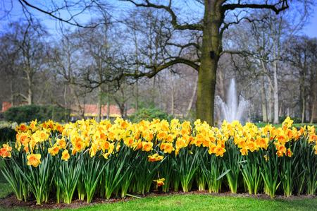 Spring landscape with yellow daffodils. Keukenhof garden, Netherlands photo