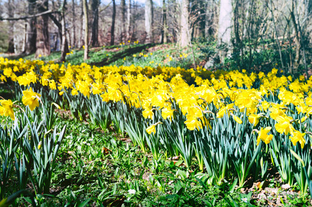 Spring landscape with yellow daffodils photo