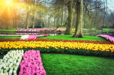Spring landscape with colorful flowers. Keukenhof garden, Netherlands photo