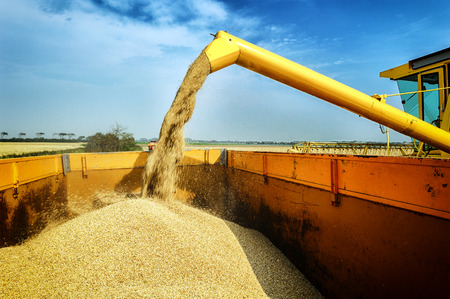 agriculture industrial: Wheat harvesting combine at agricultural field