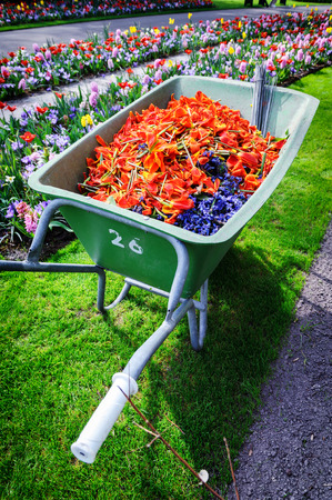Wheelbarrow full of tulip pestles. Keukenhof, Holland photo