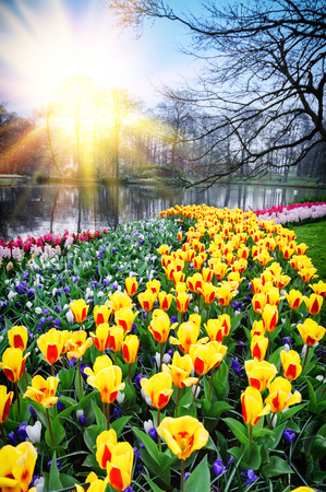 garden scenery: Spring landscape with colorful tulips. Keukenhof garden, Netherlands Stock Photo