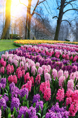 garden scenery: Beautiful hyacinths in Keukenhof Gardens, Netherlands
