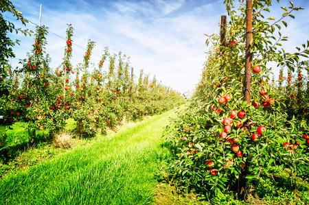 Appelboomgaard op zonnige zomerdag Stockfoto