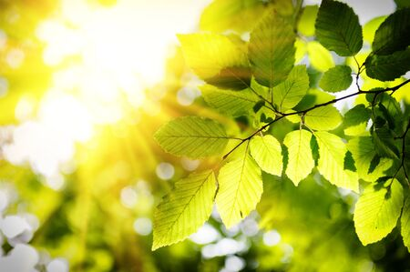 Sunny background with spring green leaves photo