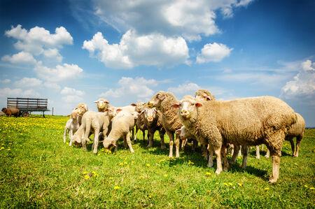 Sheep herd at summer green field photo