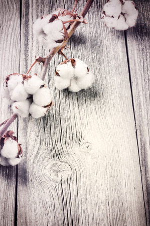 Branch of ripe cotton bolls on old wood background photo