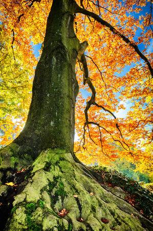 Beautiful hornbeam tree at sunny autumn day photo