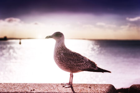 Beautiful purple sunset over sea with lonely seagull photo