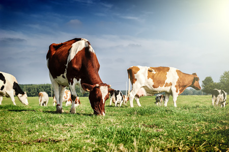 Herd of cows at summer green field. Agricultural concept photo