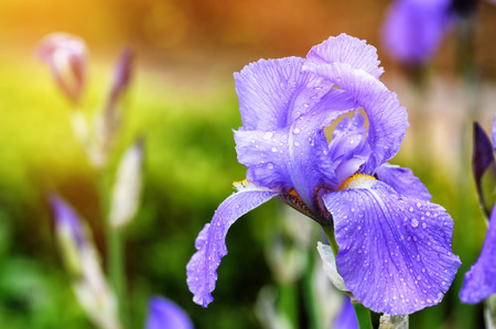 Spring flowers. Macro shot of blue iris Stock Photo