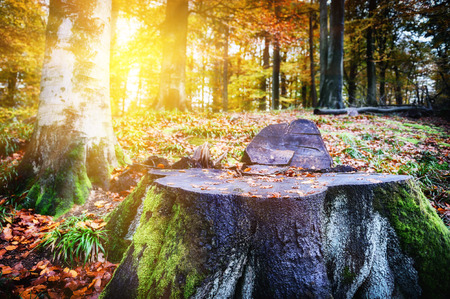 Landscape with big tree stump in autumn forest Stock Photo