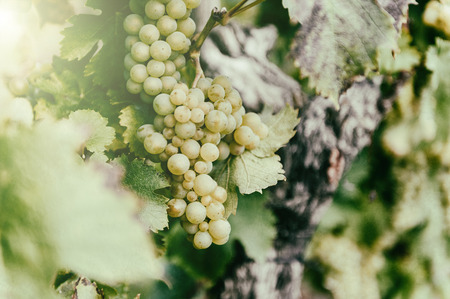 Fresh organic grape on vine branch. Wine making concept photo