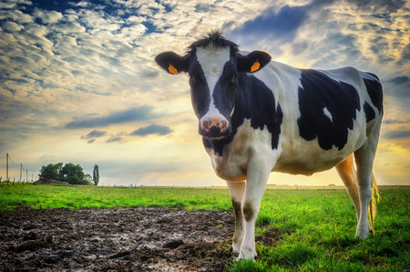 Black and white calf at green field Stock Photo - 32345029