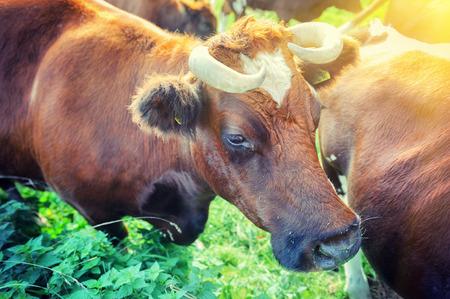 Brown cows at summer green field. Closeup shot photo