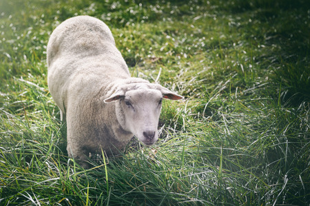 White sheep looking at the camera. Agricultural concept photo