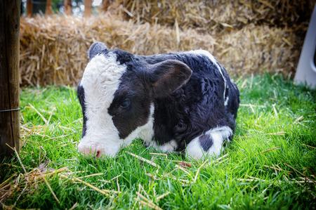 calas blancas: Pequeño becerro lindo que pone en hierba en las tierras agrícolas