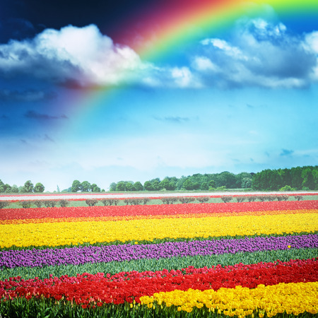 Beautiful rainbow over multicolor tulip field at spring time. Holland
