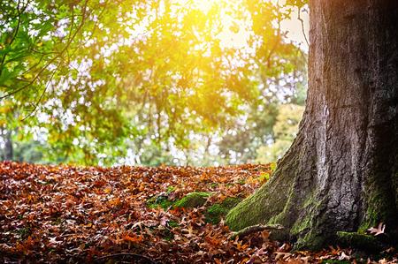 big tree: Autumn landscape with big oak tree at sunny day