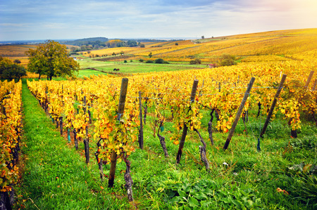 fila: Paisaje con viñedos del otoño de la ruta del vino. Francia, Alsacia