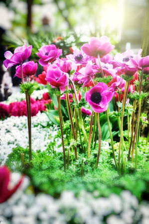 Closeup of pink poppy anemone flowers photo