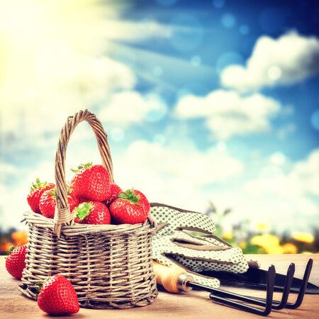 strawberry baskets: Summer harvest of fresh strawberries. Gardening concept