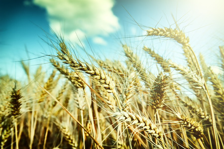 Golden wheat field at sunny summer day photo
