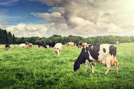 Herd of cows grazing at summer green field