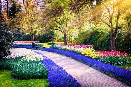 tulipan: Wiosna krajobraz z kolorowych kwiatów. Keukenhof ogrodowe, Holandia