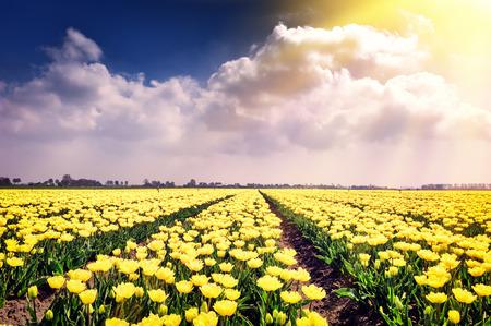 jardines con flores: Campo de primavera con los tulipanes amarillos en flor en un día soleado