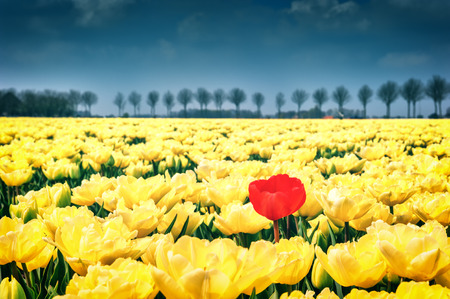 Flower bed of yellow tulips at spring field photo